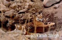 tiger family resting in a small pool; mother, cubs and father