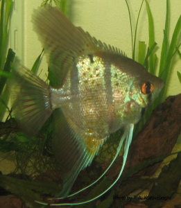 A beautiful angelfish, Pterophyllum scalare